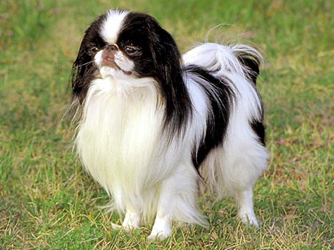 Japanese Chin Puppies on Japanese Chin Pictures  Information  Training  Grooming And Puppies