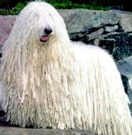 Komondor_Middle_Aged.jpg