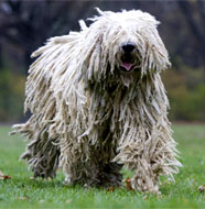 Komondor_Older.jpg