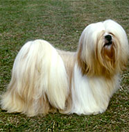 Lhasa_Apso_Middle_Aged.jpg