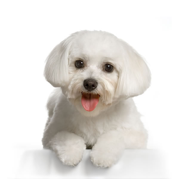 small dog breeds that don. Small Dog Breeds