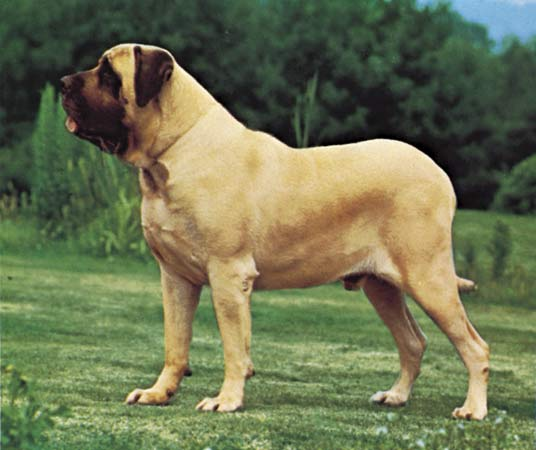 Mastiff pictures, information, training, grooming and puppies.