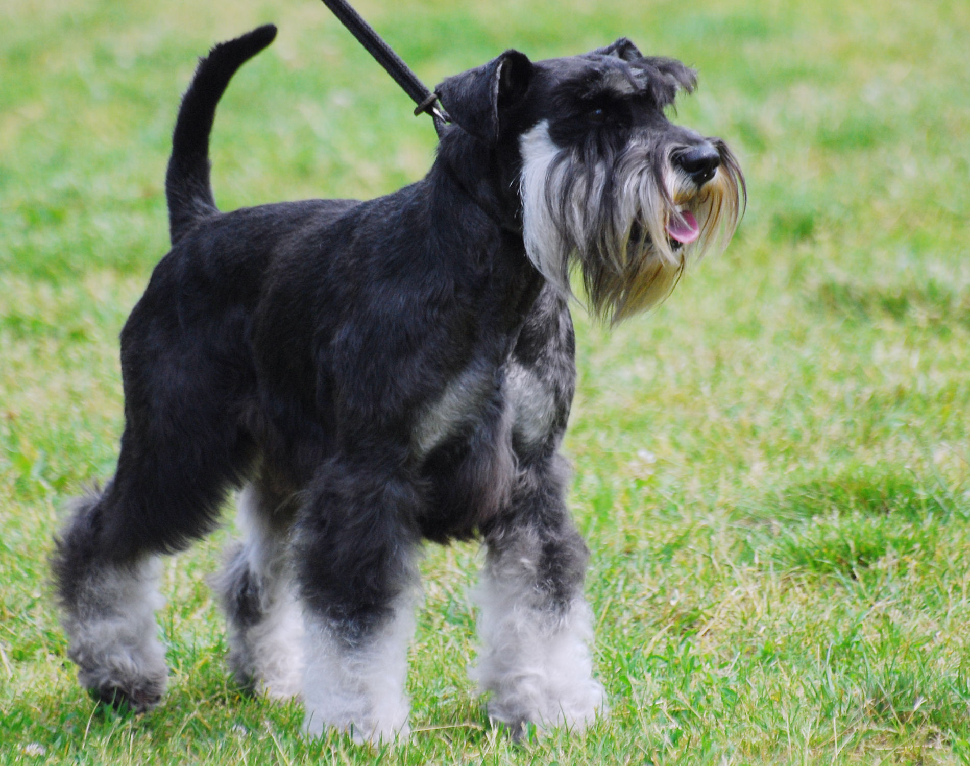 Miniature Schnauzer pictures information training grooming and