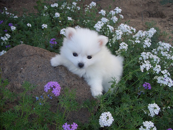 Miniature_American_Eskimo_Dog_Puppies.jpg