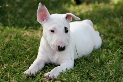 Bull Terrier Puppies on Bull Terrier Pictures  Information  Training  Grooming And Puppies