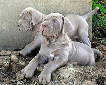 Mastiff Puppies on Mastiff Pictures  Information  Training  Grooming And Puppies