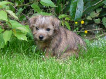 Norfolk Terrier Puppies on Norfolk Terrier Pictures  Information  Training  Grooming And Puppies