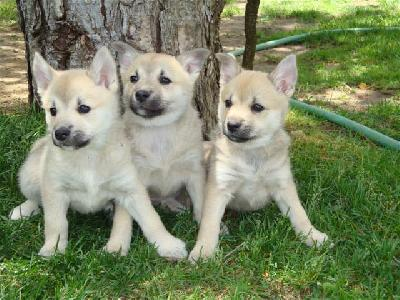 Norwegian Buhund puppies