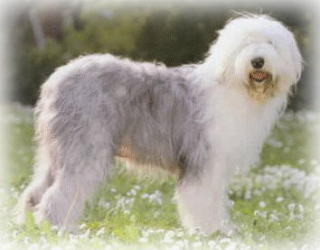 Shaggy Dog Breeds Annran Big