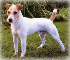 Parson_Russell_Terrier_Dog