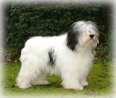 Polish_Lowland_Sheepdog_Dog.jpg