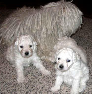 Puli Dog Breed