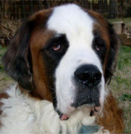 Saint_Bernard_Older.jpg