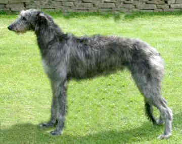 Scottish Deerhound Information
