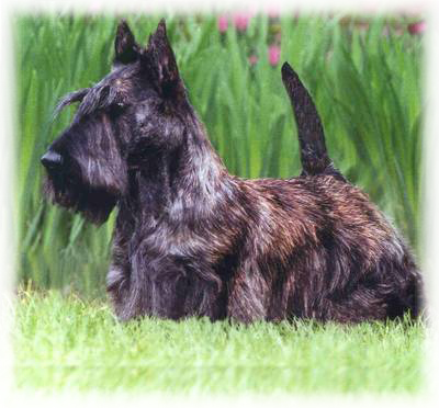Scottish_Terrier_Dog