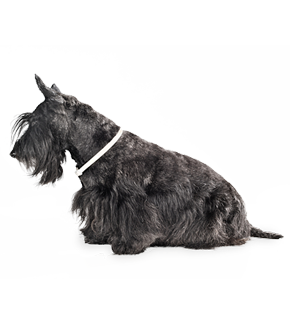Scottish_Terrier_Older.png