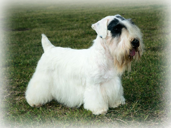 Sealyham_Terrier_Dog.jpg