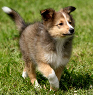 Shetland Sheepdog Pictures. Puppies: Shetland_Sheepdog_Puppy. Middle Aged: