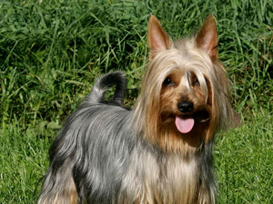 Silky Terrier Pictures Information