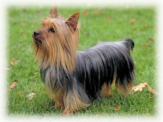 Silky_Terrier_Dog