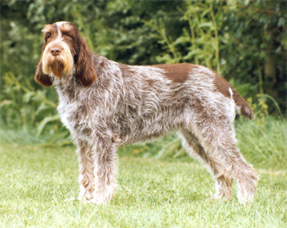 Spinone Italiano pictures, information, training, grooming ...