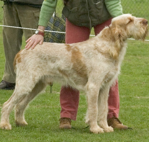 Spinone_Italiano_Middle_Aged.jpg