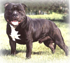 Staffordshire_Bull_Terrier_Dog.jpg