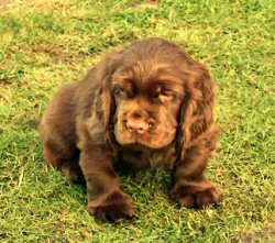 Sussex Spaniel Pictures Information Training Grooming And Puppies