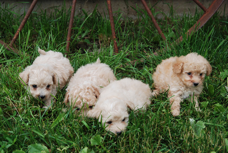 Poodle Puppies on Toy Poodle Puppies