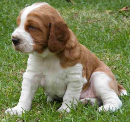 Springer Spaniel Puppies on Springer Spaniel Pictures  Information  Training  Grooming And Puppies