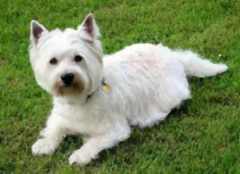 West Highland White Terrier Information