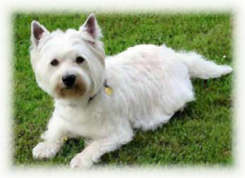 West_Highland_White_Terrier_Dog