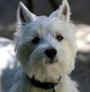 West_Highland_White_Terrier_Middle_Aged.jpg