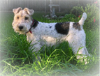 Wire_Fox_Terrier_Dog.jpg