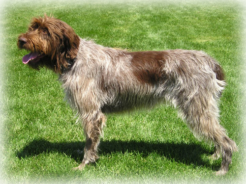 Wirehaired_Pointing_Griffon_Dog.jpg