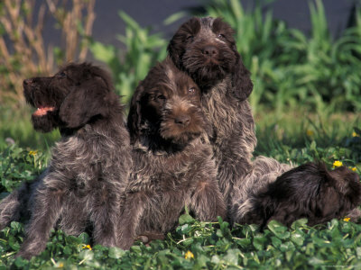 Wirehaired Pointing Griffon pictures, information, training, grooming ...