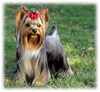 Yorkshire_Terrier_Button